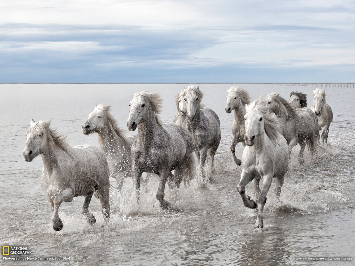 Wild Horses in France photog. by Marco Carmassi